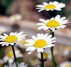 路边的小雏菊